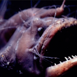 This anglerfish is among the many bizarre, ancient species discovered and rediscovered by Australian scientists while scouring the depths of the Great Barrier Reef.