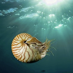 The NYtimes explores how our love of the chambered nautilis may threaten their existence.