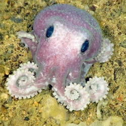 """An unidentified purple octopus (pictured) is one of 11 potentially new species found this month during a deep-sea expedition off Canada's Atlantic coast"""