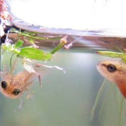 Baby smooth newts! A peek at the adorableness from egg to eft... lots of pics!