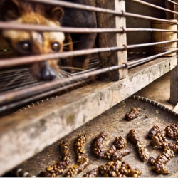 From Dung to Coffee Brew With No Aftertaste. Great NYTimes article on civet coffee (Kopi luwak).