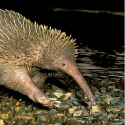 BRAINY echidnas?  check out this NYT article on recent research on monotremes.