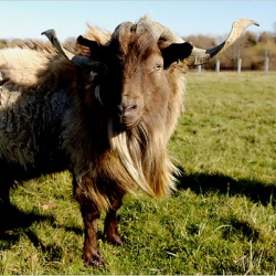 great nyt article and slideshow on rare breeds.