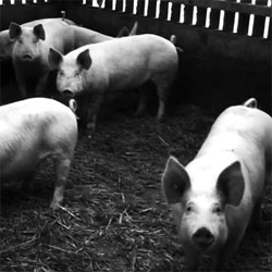 ONE PIG, by Matthew Herbert, an album of music made exclusively from sounds recorded during the life cycle of a single farm animal, from birth to plate.