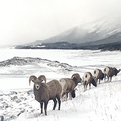 Rocky Mountain Bighorn Sheep so dramatically posed in the snow in front of the frozen Abraham Lake in Alberta. How could we not stop when these guys are walking across the highway and hopping the barrier?