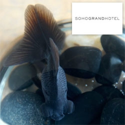 On unexpected hotel surprises ~ did you know that the Soho Grand Hotel will provide you with a black goldfish in room companion/pet?