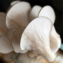 The Oyster Mushroom Harvest! Day 5 of the Mushroom Kit adventure and the counter is COVERED in spores, so i think it's time to finally pull them off for cooking?