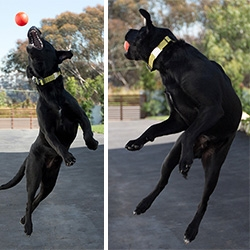 NOTpuppy, Bucky, learns to jump catch... and it results in some of the craziest expressions and bizarre off the ground body twists!