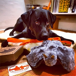 Skookum Dog Gear ~ NOTpuppy, Bucky, tries out their (faux) Sheepskin Bed with Memory Foam, Stuffed Toy Bat, the World's Best Tennis Balls, Collar + Bungee Leash and more... Fun packaging and details.
