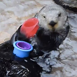 Sea Otter stacking cups at Point Defiance Zoo & Aquarium