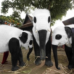 Elephants painted as pandas are seen at the Royal Elephant Kraal in Ayutthaya province, Bangkok. The elephants were led on a walkabout to send a message to the Thai public not to ignore its elephants, the symbolic animal of Thailand.