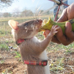 This rat is part of the HeroRATS, an elite force of rats trained up to detect unexploded landmines.  And they are pretty good at it too!