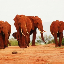 The elephants of the Tsavo National Park in Kenya are red.  Find out why!