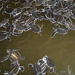 Baby sea turtles and a herd of elephants ~ awesome pictures we just got from Sri Lanka