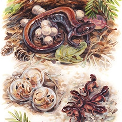 Natalya Zahn's latest are adorable illustrations of salamanders - from eggs to full grown! Also a nice illustrated lesson on lung breathing vs cutaneous respiration (breathing through your skin - no lungs!)