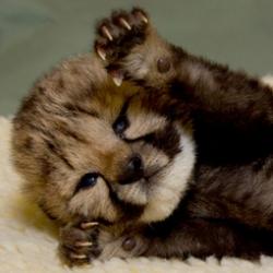 The San Diego Zoo welcomes a new cheetah cub.