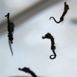 Great videos of tiny seahorses being born at the Tennessee Aquarium.