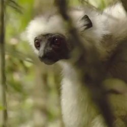 """Trouble in Lemur Land"", an online documentary following primatologist Eric Patel on his quest to save the silky sifaka."