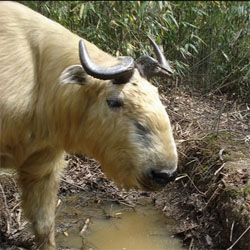 This takin is just one of many animals captured on camera traps that you can view online at Smithsonian Wild's gallery of 201,000 camera trap images from around the world.