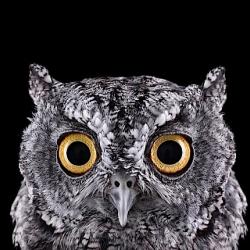Owl Portraits by Brad Wilson.