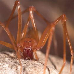 """New spider with extraordinary anatomy discovered in a cave in oregon - """"The spider has been named Trogloraptor, or """"cave grabber"""", due to its cave habitat and incredible raptorial claws."""""""