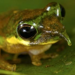 The Long-nosed tree frog is one of the new species discovered in Foja mountains rainforest on the Indonesian island of New Guinea.