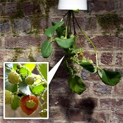 Upside down strawberries! Love this display of Boskke Sky Planters in the House of Detention as part of Clerkenwell Design Week.