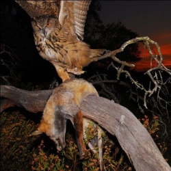 BBC slideshow of superpredation (predators hunting predators) by owls and eagles. The most dramatic photos are staged, but nonetheless capture the idea!