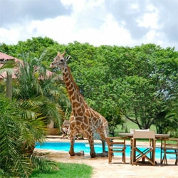 Amazing series of pictures of a giraffe swimming in a pool...
