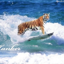Tigers On Surfboards - a new photoshop meme?