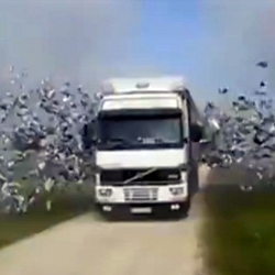 Thousands of birds flying out of 18 wheeler truck is an amazing sight!