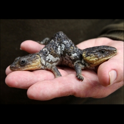 A two headed bobtail lizard, a type of skink, at its new reptile park home at Henley Brook in Perth, Australia.