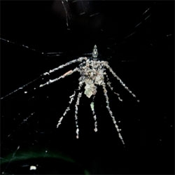 Is that a real spider or just a decoy? Scientists discover a spider that builds its own spider-decoys out of leaves, debris and dead insects!