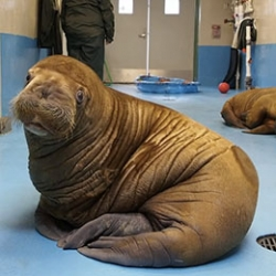 Amazing video of orphaned walruses cared for at Alaska SeaLife Center