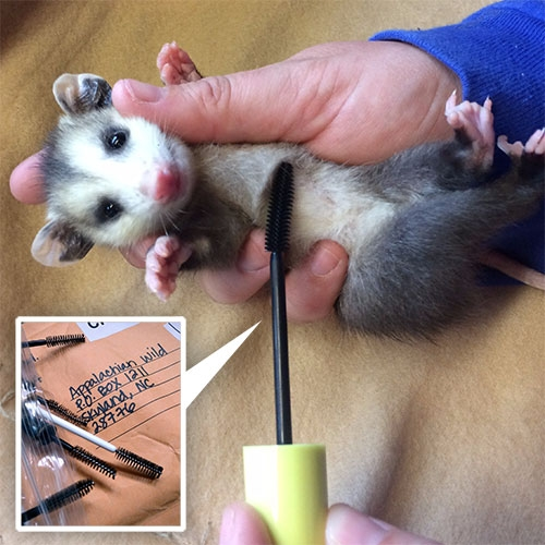 "Wands for Wildlife is an initiative by Appalachian Wildlife Refuge. ""Old mascara wands are used to remove fly eggs and larva from the fur of wild animals. They work great because the bristles are close together."""