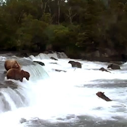 Live HD webcam: brown bear & salmon cam - brooks falls