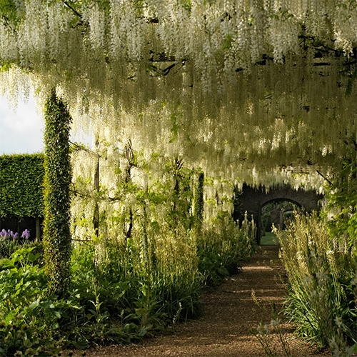 "Dreamy wisteria filled garden at Petworth. ""Experience Spring at England's Petworth House"" in Architectural Digest."