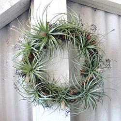 Robin Charlotte makes beautiful air plant wreaths!