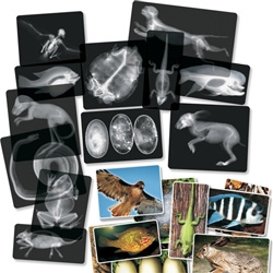 Roylco has some fun x-ray flashcards ~ animals, insects, body parts and more!