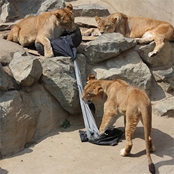 "Zoo Jeans is a charity project that sees tigers, lions and brown bears ""design"" a series of jeans by scratching and biting the denim."